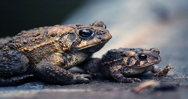 Stop Milking Toads to Get High, Say, Conservationists