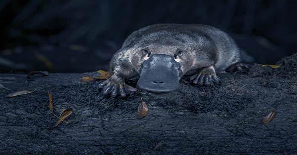 That-Picture-Of-A-Platypus-Everybody-Is-Sharing-Again-Is-Still-Just-A-Rock-1