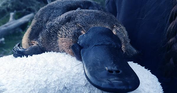 That Picture Of A Platypus Everybody Is Sharing Again Is Still Just A Rock
