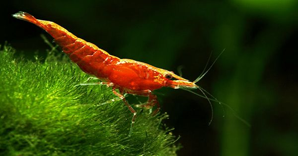 These Tiny Shrimp-Like Critters Are The Fastest Snappers In The Sea