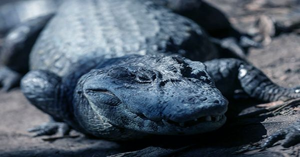 Alligators In Oklahoma Cleverly Embrace Becoming A Popsicle To Survive Freezing Water