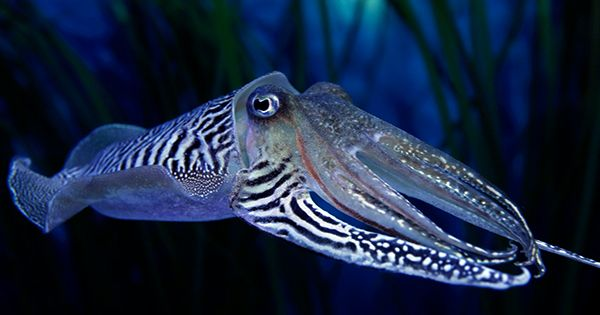 """Cuttlefish Have The Self-Control To Pass The """"Marshmallow Test"""", Unlike Some Toddlers"""