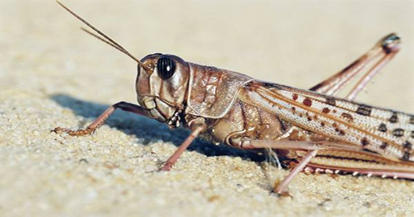 Cyborg Uses The Ear Of A Locust To Listen To Commands