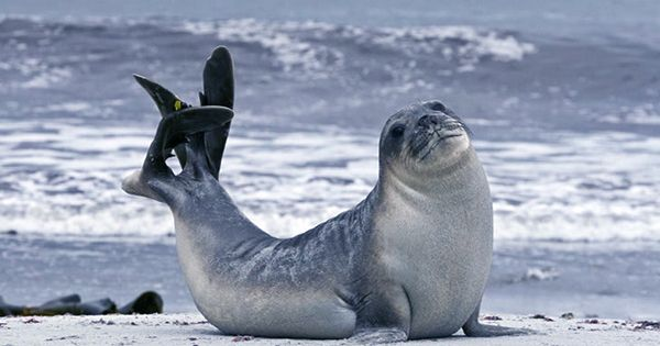 Hi-Tech Seals Help Scientists Reveal The Vulnerable State Of An Antarctic Glacier