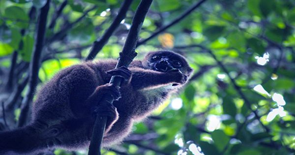 Lemurs Can Sniff Out Tasty Melon On The Breeze From 50 Feet Away