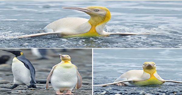 Leucism-Or-Albinism-Incredibly-Rare-Yellow-Penguin-Has-Scientists-Scratching-Their-Heads.