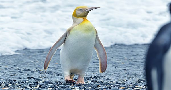 Leucism Or Albinism? Incredibly Rare Yellow Penguin Has Scientists Scratching Their Heads