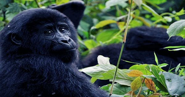 Reddit's GameStop Investors Have Donated Over $350,000 To Gorilla Conservation