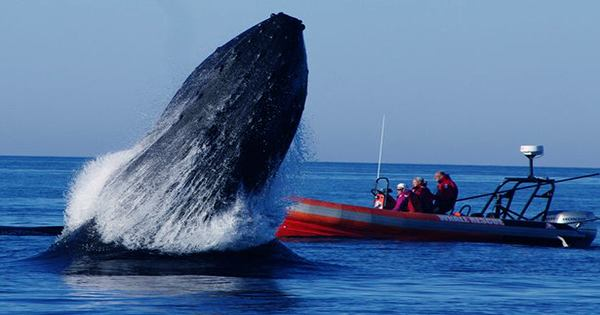 Rescuers-Remove-More-Than-37-Meters-Of-Rope-From-Entangled-Humpback-Whale