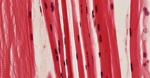 Researchers discovered how epigenetic mechanisms accelerate muscle cell growth