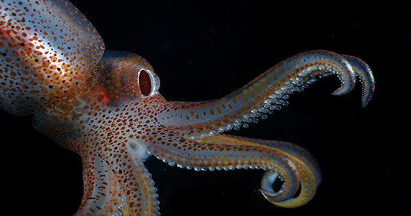 Scientists Discover Key Ingredient Behind Tiny Glittery Squid's Symbiotic Bacterial Glow