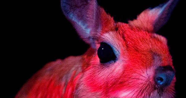 Springhares-Are-The-Latest-Mammals-To-Have-Their-Glow-In-The-Dark-Secret-Powers-Revealed-1