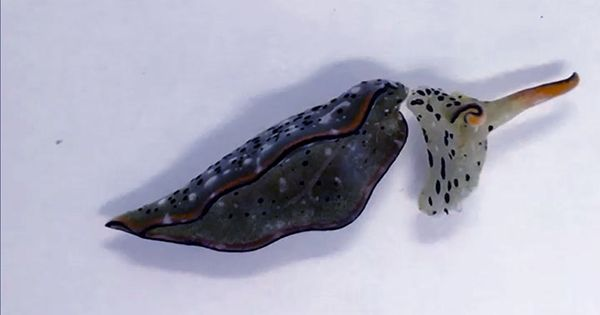 These Self-Decapitating Sea Slugs Can Regrow An Entire Body On Their Old Head