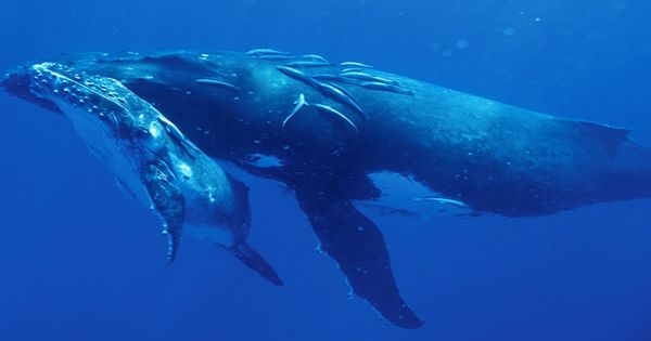 Rescuers Remove More Than 37 Meters Of Rope From Entangled Humpback Whale