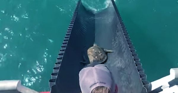 Watch-Turtles-Rescued-In-Texas-Returning-To-The-Wild-On-A-Slide-1
