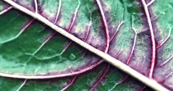 A spinach leaf proves to be an edible platform upon laboratory-grown meat