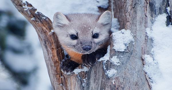 Adorable Killer Ermines Found To Contain Three Distinct Species of Fluffy Weasels