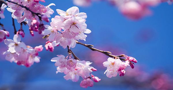 Climate Change May Have Triggered Kyoto's Earliest Cherry Blossom Season In 1,200 Years