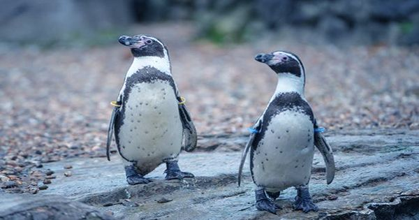 """Extraordinary Sight-Saving Surgery Performed On """"Munch"""" The Penguin At Chester Zoo"""