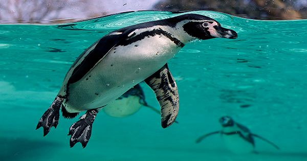 Extraordinary-Sight-Saving-Surgery-Performed-On-Munch-The-Penguin-At-Chester-Zoo