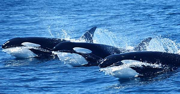 Killer Whale-Attracting Ghost Currents Have Finally Been Explained