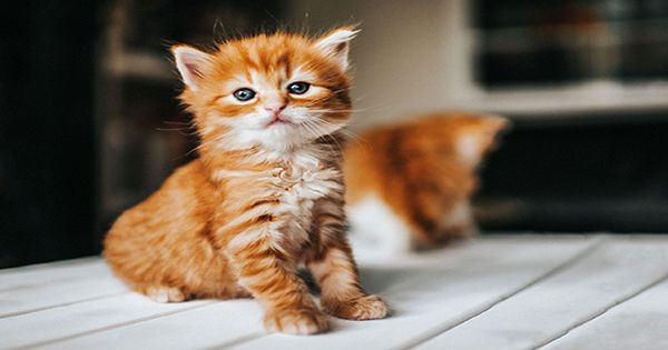 Kitten Called Apricot May Be A Chimera Made From Two Embryos Fused Together