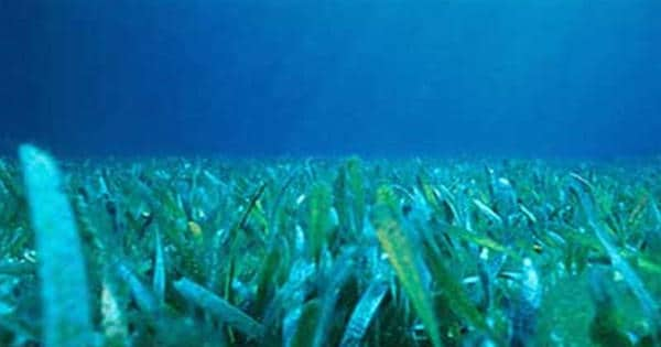 Seagrasses-can-buffer-ocean-acidification-1