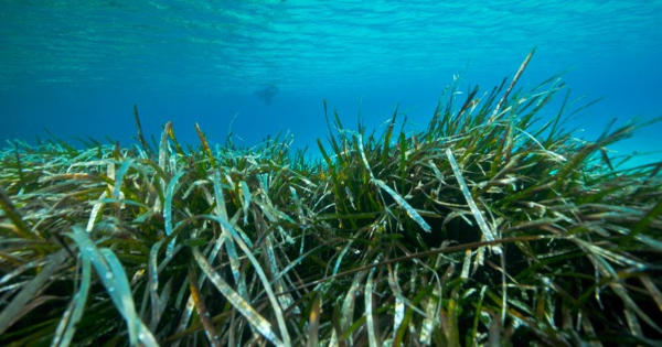 Seagrasses can buffer ocean acidification