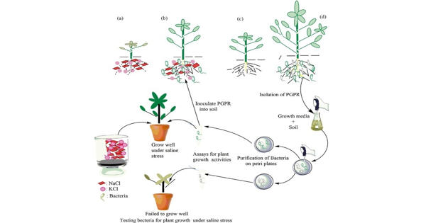 Special soil bacteria help the plants to grow better