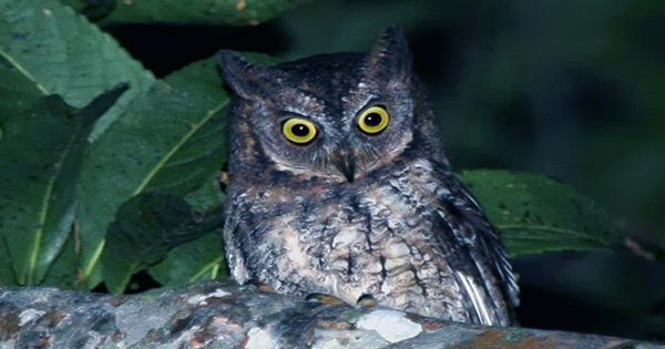 Two New Endangered Species Of Amazon Rainforest Screech Owls Found