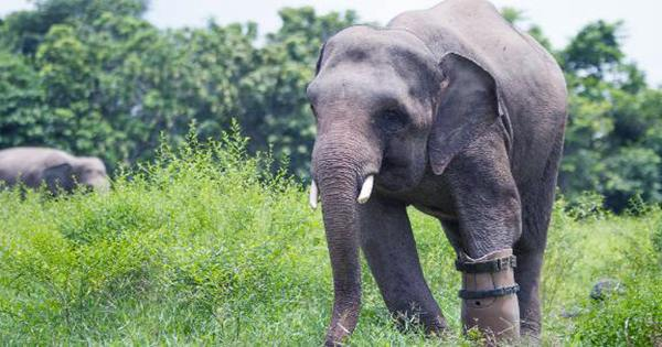 Baby Elephant that Lost its Foot to a Snare Gets Prosthetic Foot