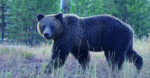 Bear Charges Tourist at Yellowstone National Park as Onlookers Film