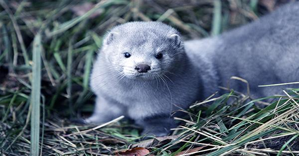 Denmark to Incinerate 4 Million Mink Rising from the Grave Following COVID-19 Cull