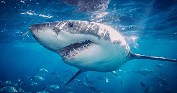 Fossil Shows Carnivorous Conga Line As Shark Eats A Cephalopod Eating A Crustacean