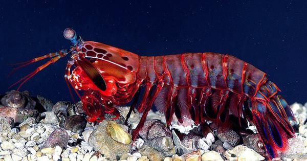 Mantis Shrimp Can Throw A Killer Punch At Just Nine Days Old