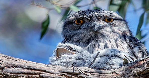 """""""Poetic Justice"""" Served As Frogmouth Crowned The World's Most Instagrammable Bird"""