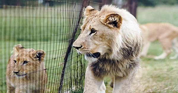 South Africa To Ban Lion Farming For Hunting, Tourist Attractions, And Bone Trade