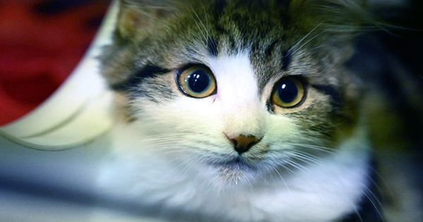 Feline Blood Transfusion: How To Find Out If Your Pet Is Suitable For Cat Blood Donation