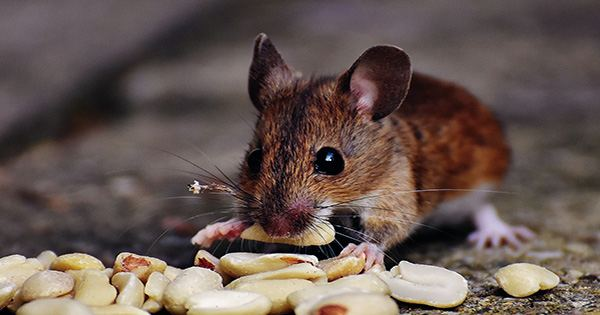 A Plague of Cannibal Mice is Swarming Southeast Australian Farms and Homes