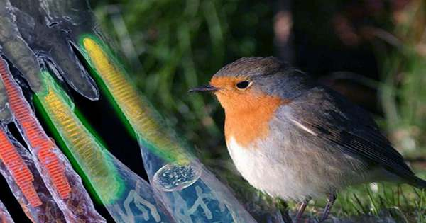 Birds' Magnetic Sensor for Navigation Might Rely On Quantum Mechanics in their Eyes