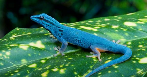 Crested Geckos have Sticky Tails that can Hold Five Times their Weight
