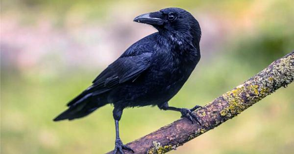 Crows Once again Prove their Intelligence by Showing that they Understand Zero