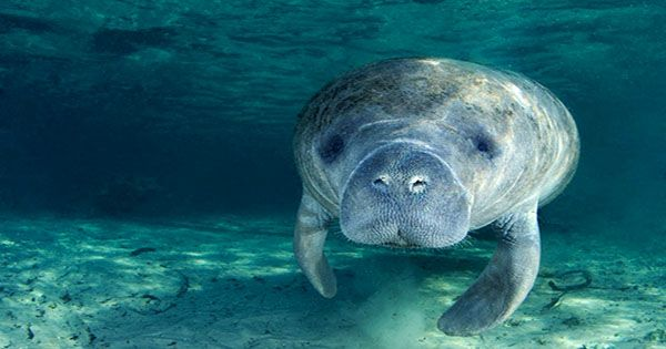 Florida's Manatees on Course for Record Number of Deaths this Year