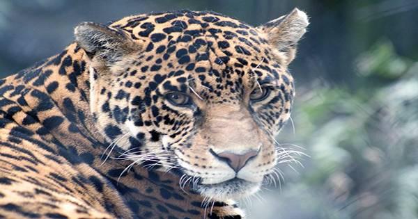 Jaguars should be Reintroduced into the US, Conservationists Argue
