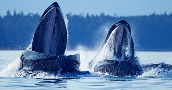 Lobster Diver Caught in Mouth of Humpback whale Lives to Tell Tale