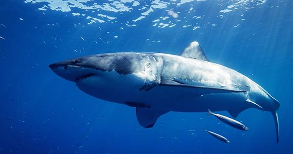 Megalodons were Probably Even Bigger than Estimated, High School Project Shows