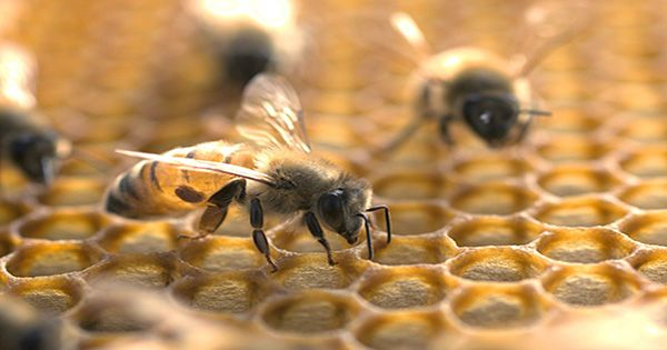 Microplastics are Now Accumulating on Honeybees
