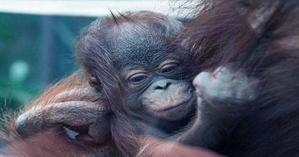 Optical Illusion Orangutan Shot Wins At Nature TTL Photographer of the Year
