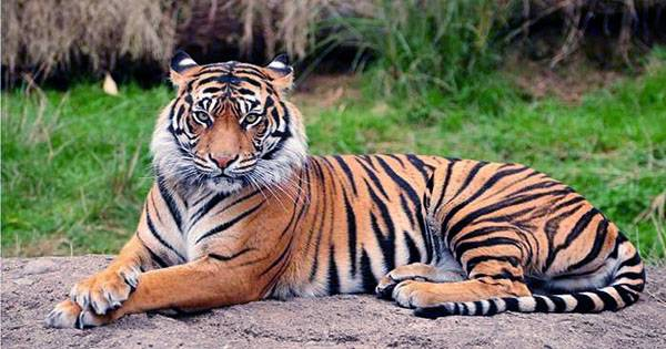 Poacher who Claimed to have Killed at Least 70 Tigers Arrested by Police in Bangladesh
