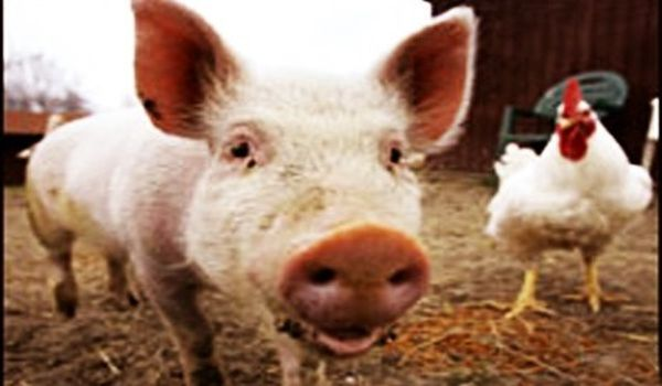 Researchers-Generated-Farm-Animals-with-Integrated-Gene-Scissors-1